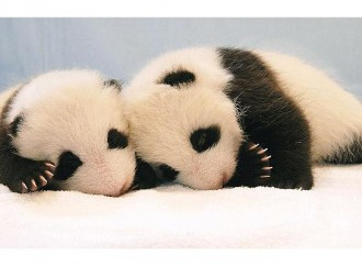 National Zoo Panda Twins Are the Third Set of Twins Born in the US