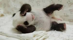 panda cub 2
