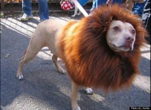 dog costume--lion