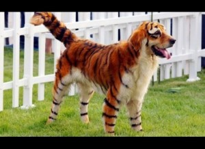 dog costume--tiger