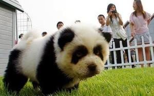 dog dressed as Panda