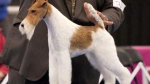 sky-wire-fox-terrier-westminster-best-in-show