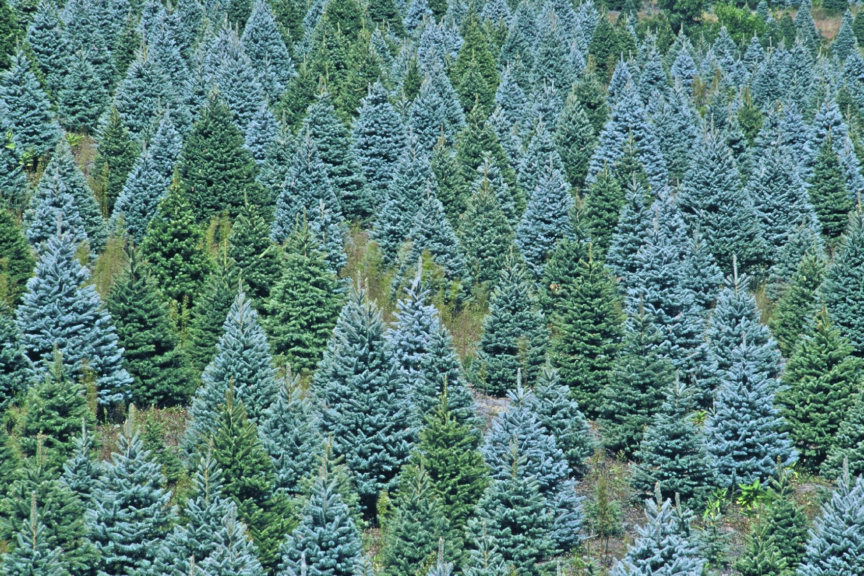 11 Cut-your-own Christmas Tree Farms In Loudoun